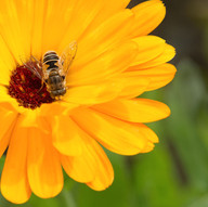 Bee On Flower by Fiona Wilson