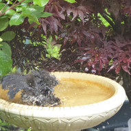 blackbird bathing by J.McNeil