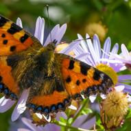 Tortoiseshell Butterfly by Ian Jackson