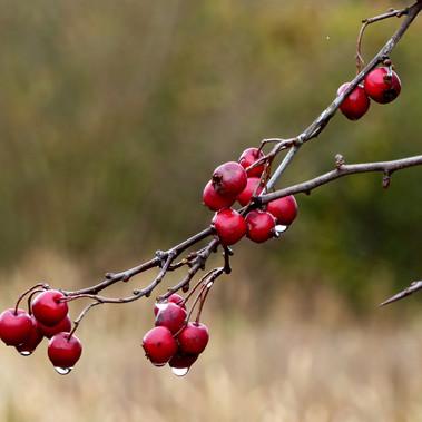 Hawthorn Berries by Margot Falconer