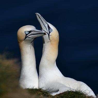 Gannets by Ian Milne