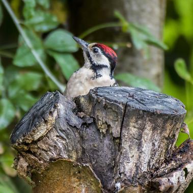 Woodpecker by C.Dalbeck
