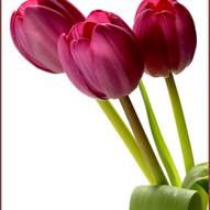 Tulips by Fiona Wilson