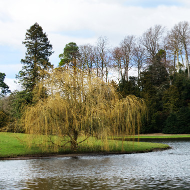 Weeping Willow Tree by F.Wilson