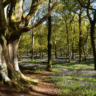 Bluebell woodland by Ian Milne