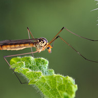 Resting Crane Fly (Daddy LL) by D.Parsons