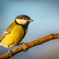 Great tit by S.Smith