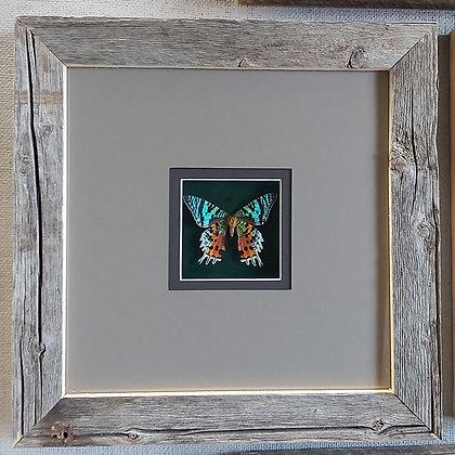 Sunset Moth in Barnwood