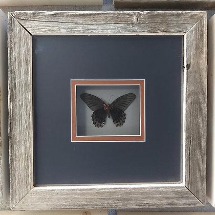 Mormon Butterfly in Barnwood