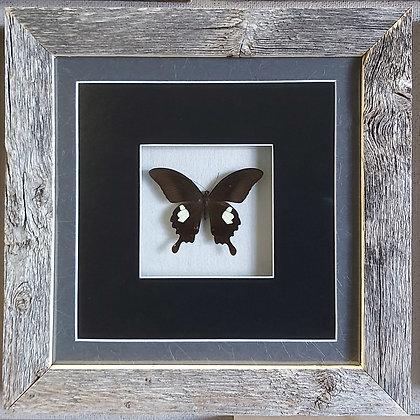 Papilio fuscus in Barnwood