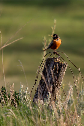 Little Robin on the Prairie