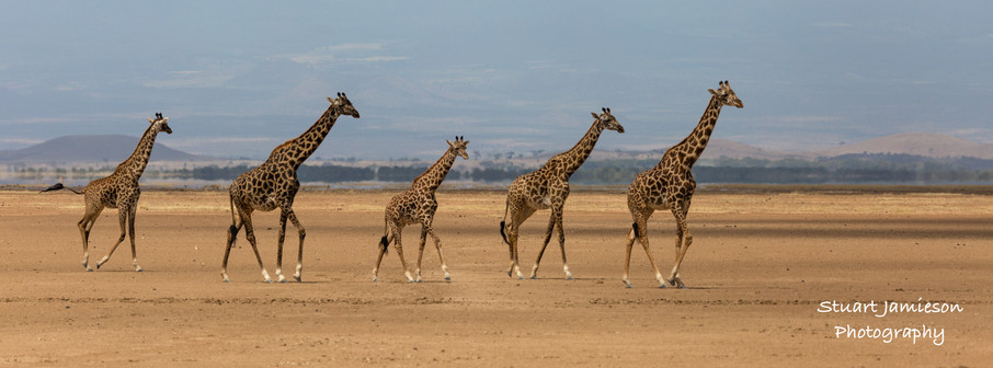 Giraffes on the run on the dry lake bed in Amboseli National Park