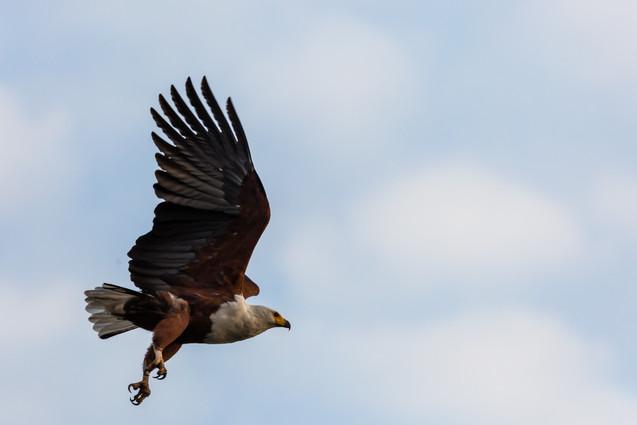 Fish eagle inflight