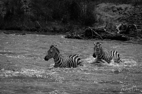 Brave zebras