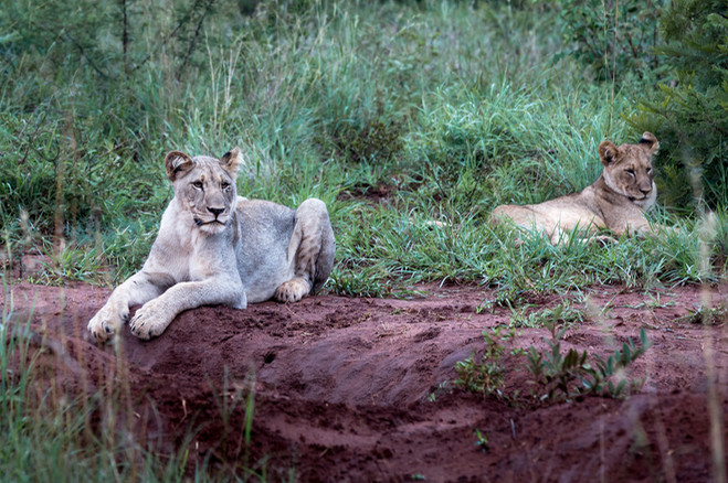 Two resting cubs