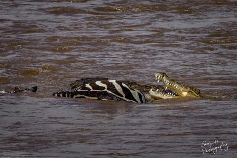 A zebra did make the crossing