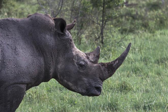 Rhino portrait