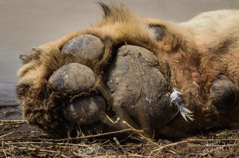 Lions paw