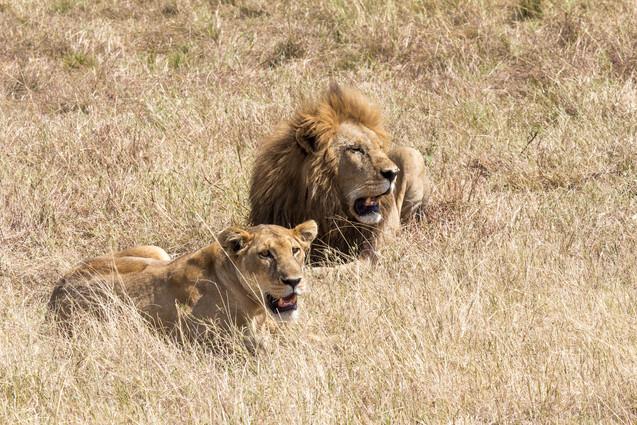 lioncouplemara.jpg