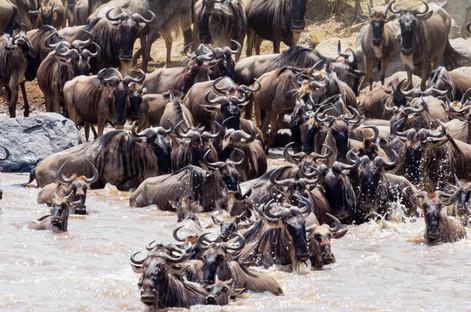 wildebeastmigration.jpg