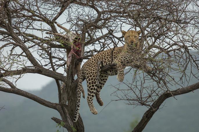 Leopard resting tree