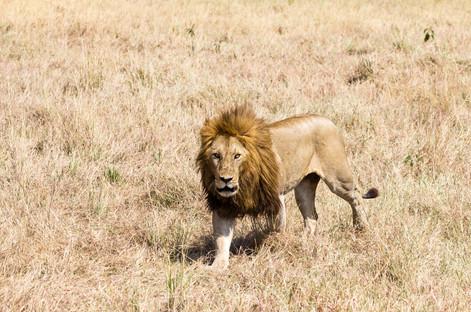 Male Lion Mara.jpg