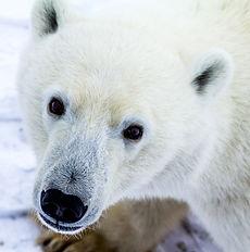 Polar Bear 14.jpg