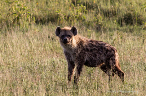 Hyena in the late afternoon sun