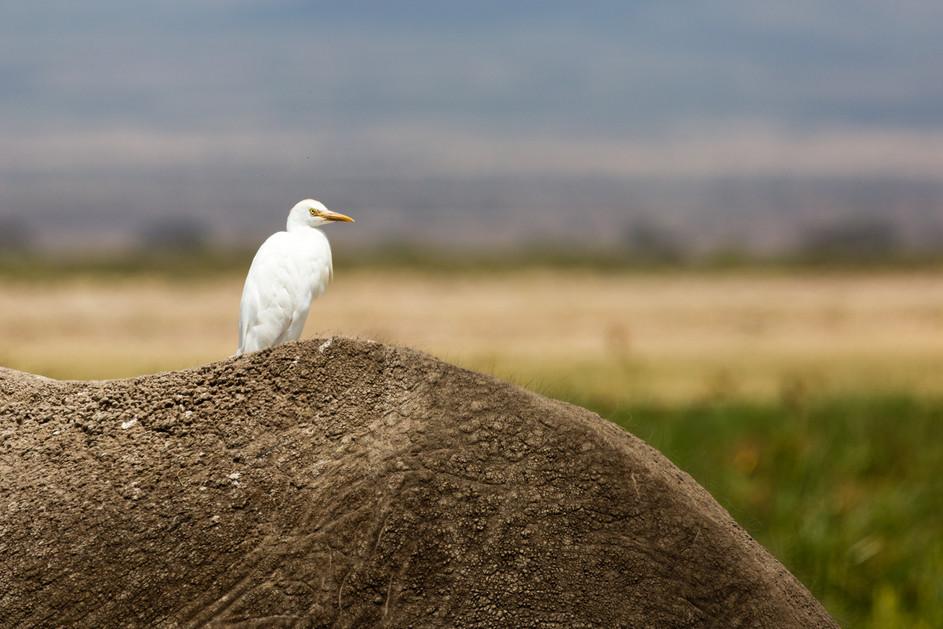 Egret on elephant