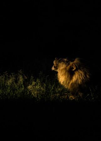 spotlight lion