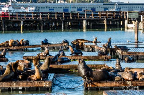 Seals on pier 39, San Francisco