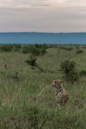 Cheetah landscape