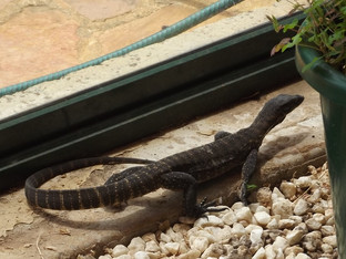 Goanna in our Greenhouse