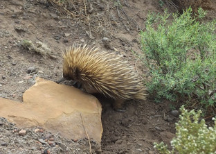 An Echidna for guests to see