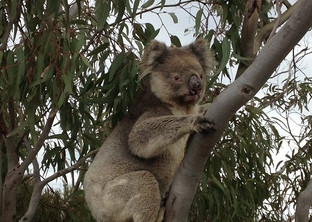 Koala on our track