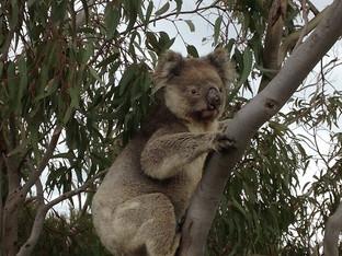 Hunting for a Koala