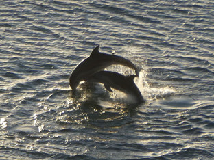 Dolphins in our bay