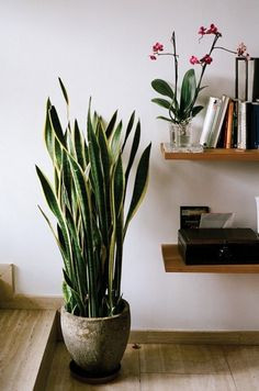 Snake plant - Indoor decor