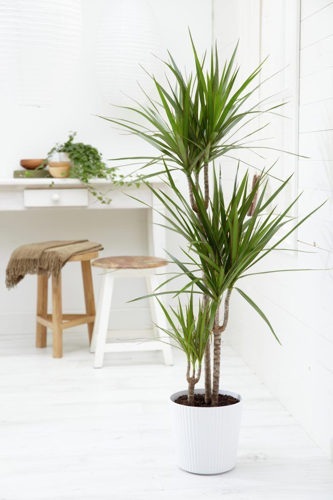 Dracaena plant for indoor