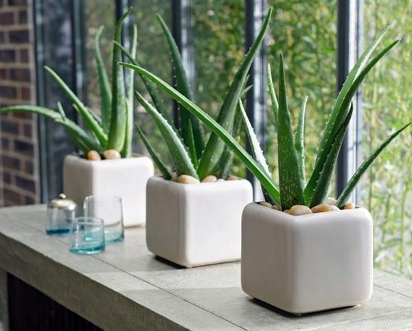 Aloe Vera indoor plant