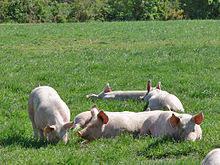 Pourquoi la Maison Larzul a choisi le porc fermier breton pour ses charcuteries?