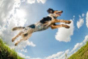 Jumping-dog-----------------------------