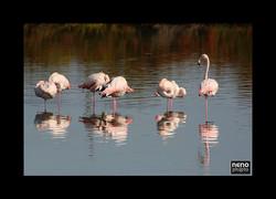 Flamingo 5325
