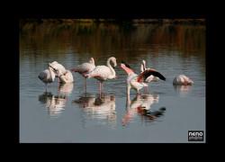 Flamingo 5331