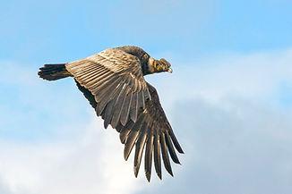 condor punta arenas