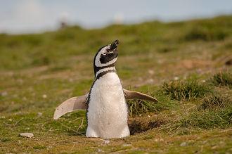 pinguino isla magdalena punta arenas