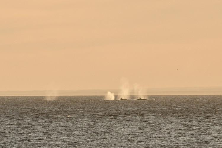 Ballenas Sei