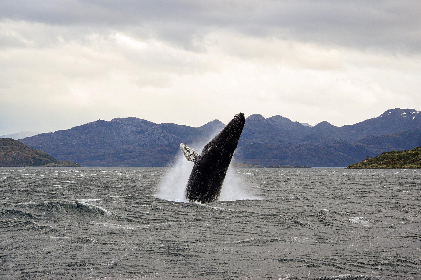 ballena saltando punta arenas
