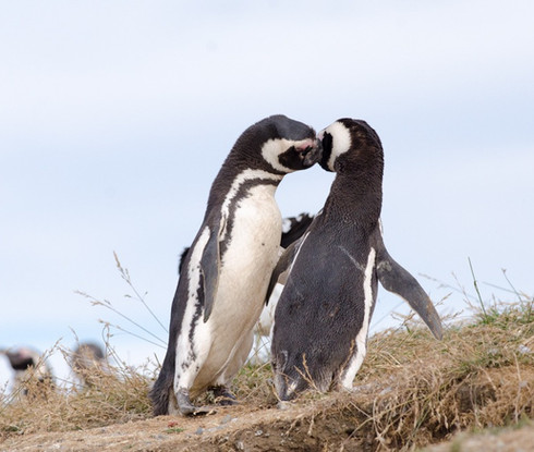 Pinguinos isla magdalena