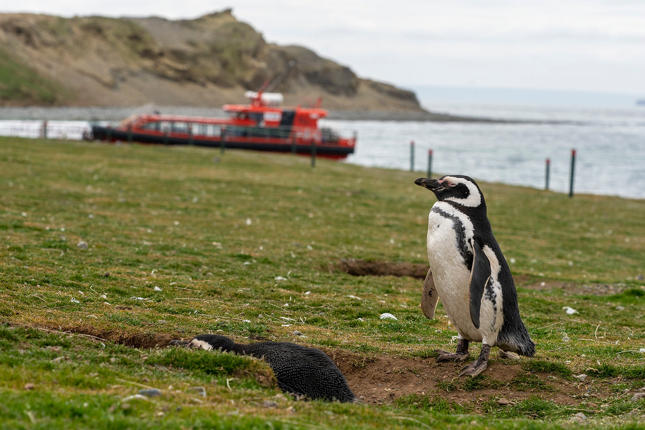 Pingüino Isla Magdalena